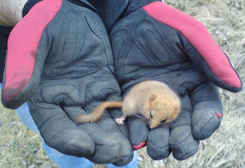 This Hazel Dormouse (Muscardinus avellanarius) was caught by a dog. It was taken away from the dog - alive - and set free.