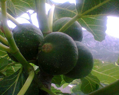 Figs on our tree