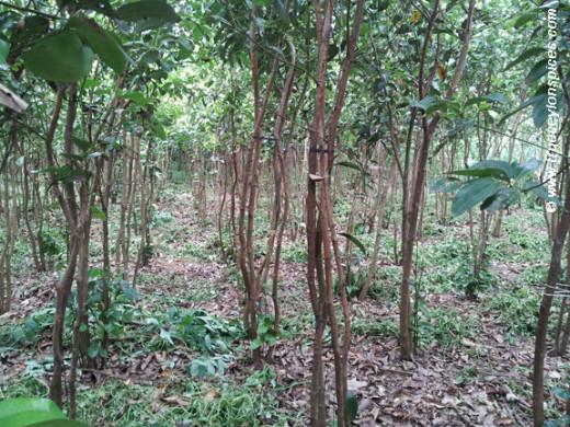 A cinnamon cultivation