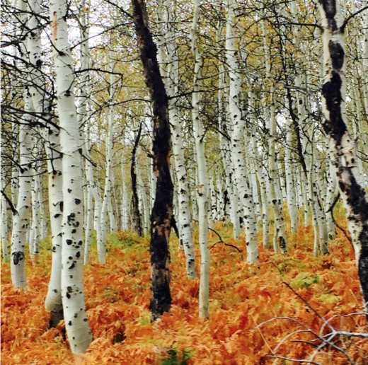 Aspen trees - personal photo REK