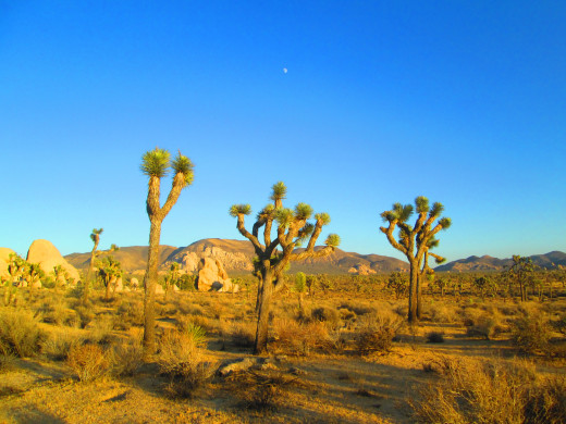 The three Joshua trees in the foreground are under the moon.
