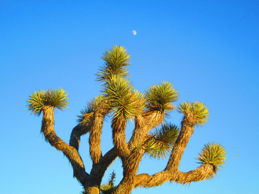 The moon is in the blue sky above the Joshua tree.