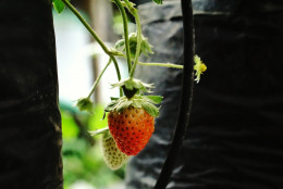 Growing strawberry in a poly bag. It's also ideal for gardening in limited space, particularly for plants with short, fiber roots like strawberry, tomatoes, cucumber, sweet chili, etc.