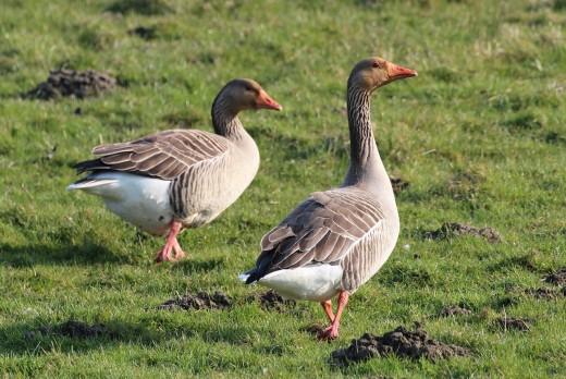 Wandering ducks in a farm.