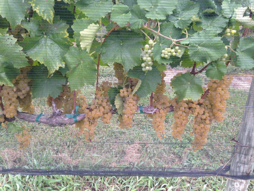 One day these little grapes will be delicious wine.