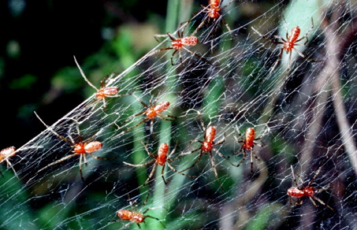 Spiderlings in a Colony