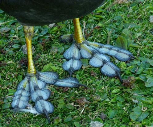 A Coot's Lobed-Feet