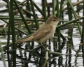 Birds of the World. Acrocephalus. A-Z of bird genera part 5