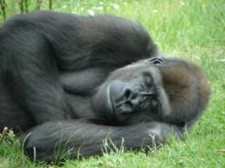 Sleep Like a Gorilla