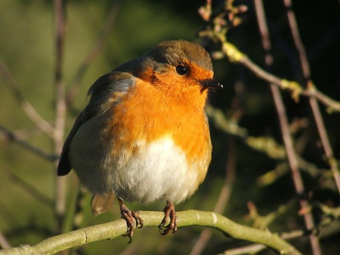 The European Robin (Erithacus rubecula) perched on a branch.