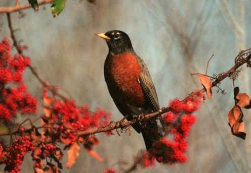 American Robin (Turdus Migratorius) in a Brazilian pepper tree with red berries.