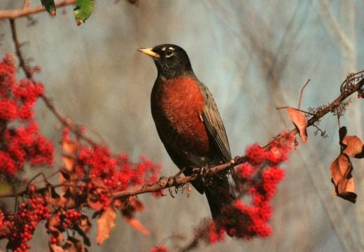 American Robin (Turdus Migratorius) in a Brazilian pepper tree with red berries.