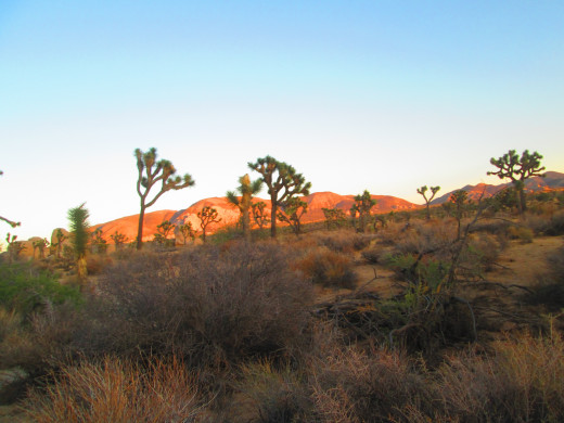 Joshua trees and chaparral grow through the park.