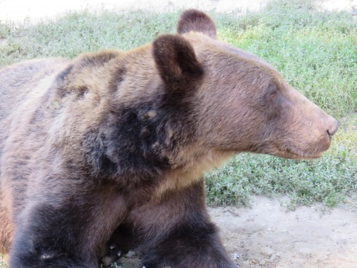 Look out for bears when hiking in the Carpathians, Transylvania