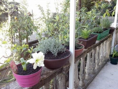 Herbal plants in pots