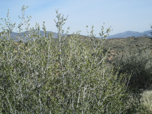 The chaparral bush has small leaves on it.