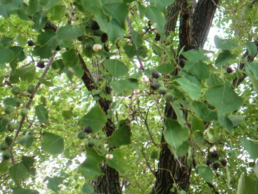 Green pods appear late summer and early fall every year. They turn black and pop open to reveal a white substance.
