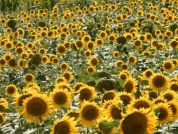 Sunflowers in a field in Italy
