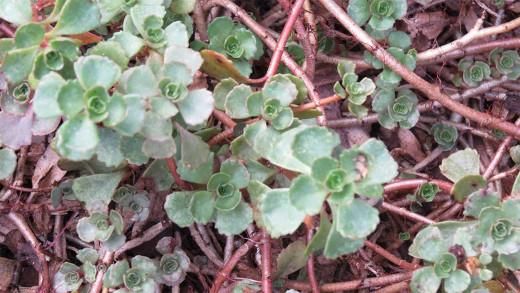 """Another stonecrop, """"Sedum spurium"""" (Latin name)."""