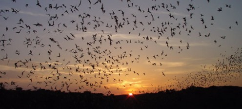 The bats streaming out of Carlsbad Caverns at Sunset