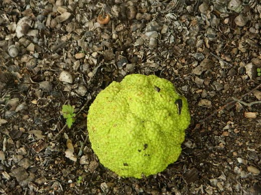 there was no sign on the tree but I researched it and it looks like the fruit of the osage orange treet.