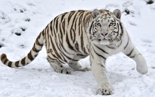 The white tiger is a pigmentation variant of the Bengal tiger.