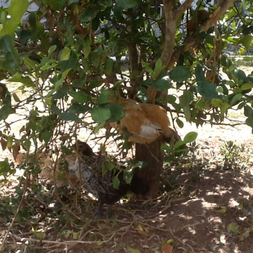 Chickens resting in kaffir lime tree