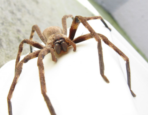 A friendly Huntsman Spider