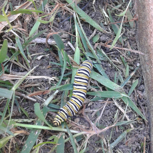 Monarch Butterfly Caterpillar on San Diego Backyard Grass
