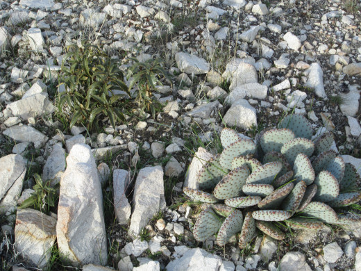 The small beaver tail cactus is surrounded by granite rocks.
