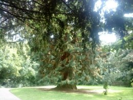 A Giant Sequoia - a collection of large trees from around the world are all that remains of the manor at Sishes