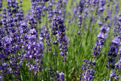 Lavender Miracle Drink for Anxiety & Headaches