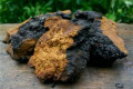 Chaga and Ganoderma/Reishi - Usages and Cautions