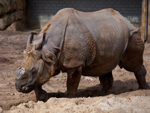 Javan rhinos live an average of 35 to 40 years in the wild under normal circumstances.