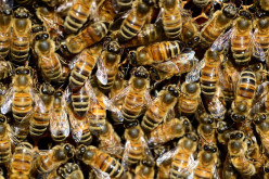 Information About Honey Bees