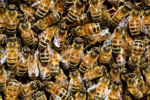 These honey bees are happily at work in the bee hive.