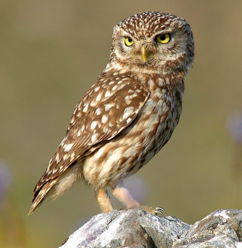Does this Little Owl give two hoots?  Probably not! Attribution: By Athene_noctua_(portrait).jpg: Trebol-a derivative work:Stemonitis (Athene_noctua_(portrait).jpg) [CC BY-SA 3.0 (http://creativecommons.org/licenses/by-sa/3.0)], via Wikimedia Commons