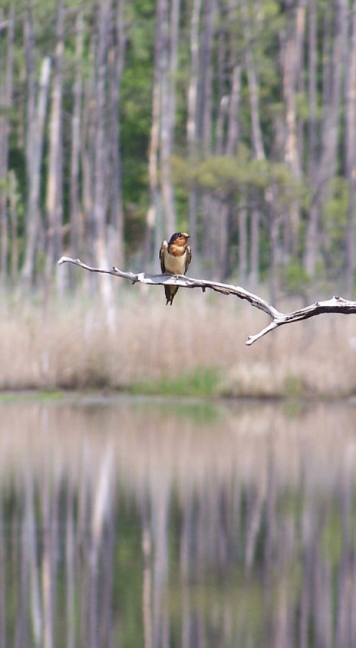 Perching songbird at Blackwater Wildlife Refuge, Maryland