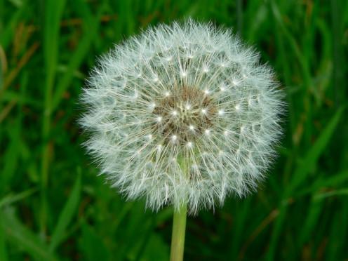 Dandelion Taraxacum Officinale Seed