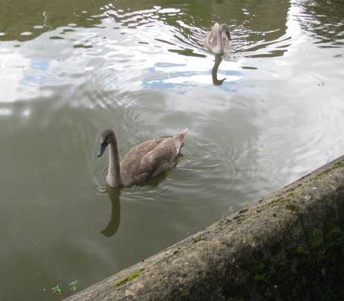 Cygnets at Bishop's Palace, Wells, Somerset