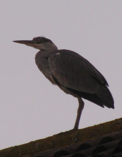 Heron, on the roof of our house; a bird's eye view for fish in the canal!