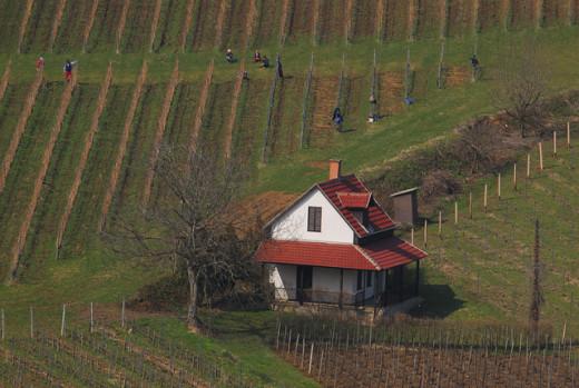 Tokaj grape fields