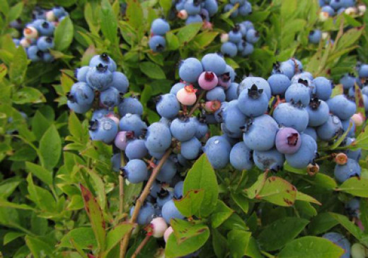 Blueberries on the bush can be part of your front yard landscape plan