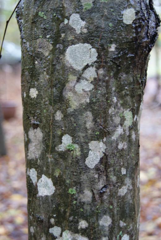 Ironwood (Carpinus caroliniana) bark