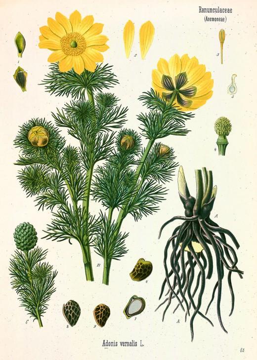 From Kohler's Medizinal Pflanzen