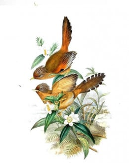 Illustration from a book by John Gould