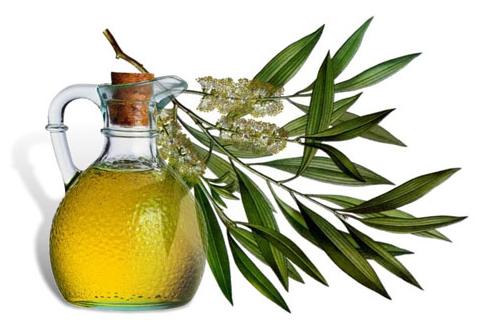 Tea Tree Oil and the leaf