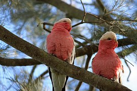 Australian Cockatoo pair