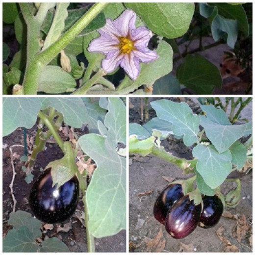 The beautiful eggplant flower and some of the plants growing in our backyard.