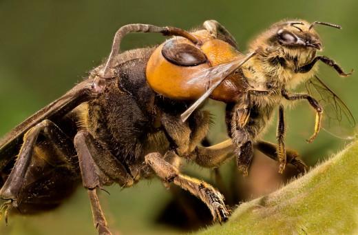 Vespa-Hornet Wasp